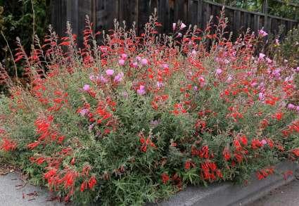 Photo Credit: Annie's Annuals & Perennials