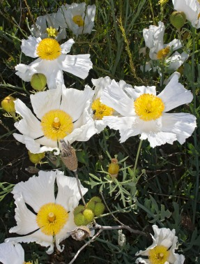 matilija poppy - Aaron Schusteff