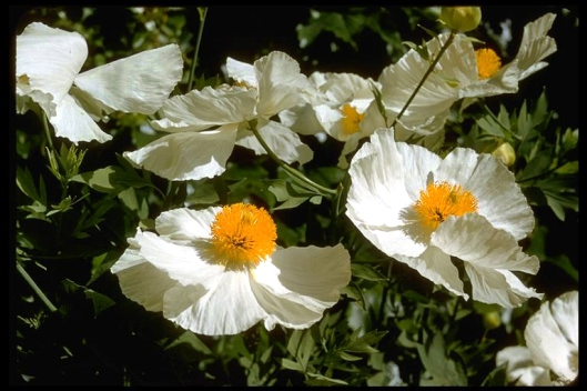 Matilija-poppy---Cal-Academy-of-Sciences