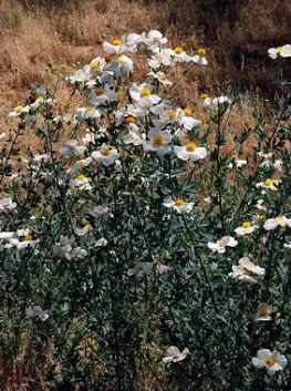 Romneya_coulteri_Barry Breckling