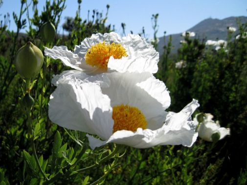 Plant Of The Month Romneya Coulteri Valley Water News
