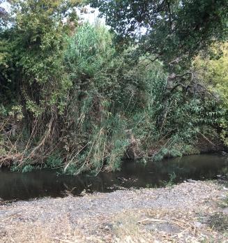 Arundo removal on Coyote Creek (10)
