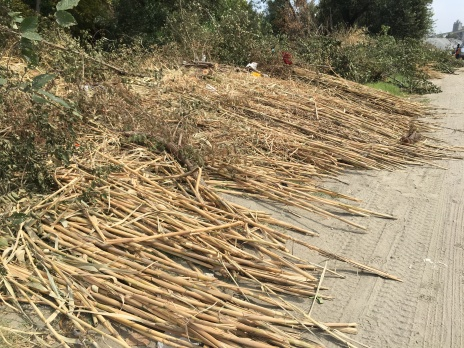 Stalks of removed Arundo donax (also known as giant reed) along Coyote Creek near the Golden Wheel Mobile Home community.