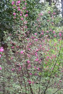 Photo credit: The Wild Garden, www.nwplants.com