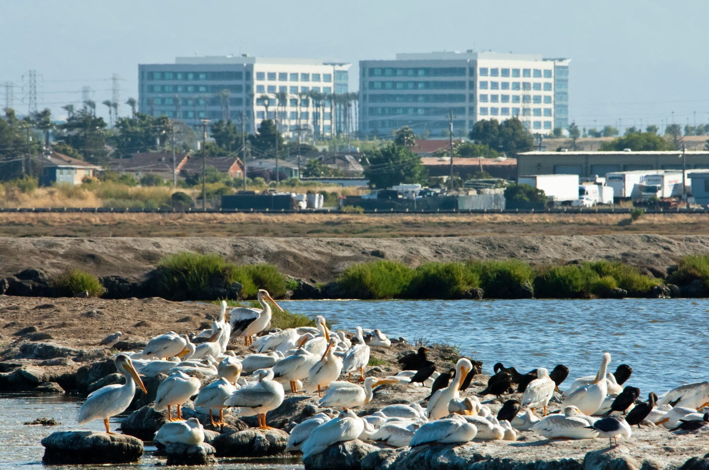 white pelicans and cormorants on island near Environmental Ed Center